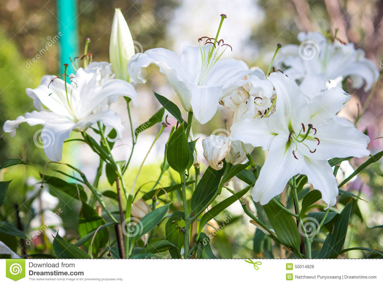 White Lily Flower Stock Photo Image Of Season Petal 50014828