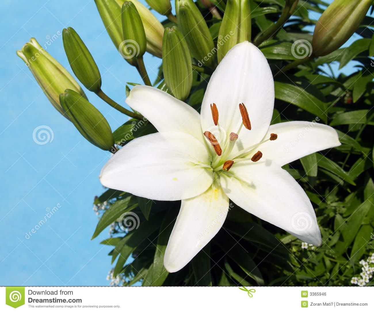White Lily Flower With Sky Stock Photo Image Of Lilium 3365946