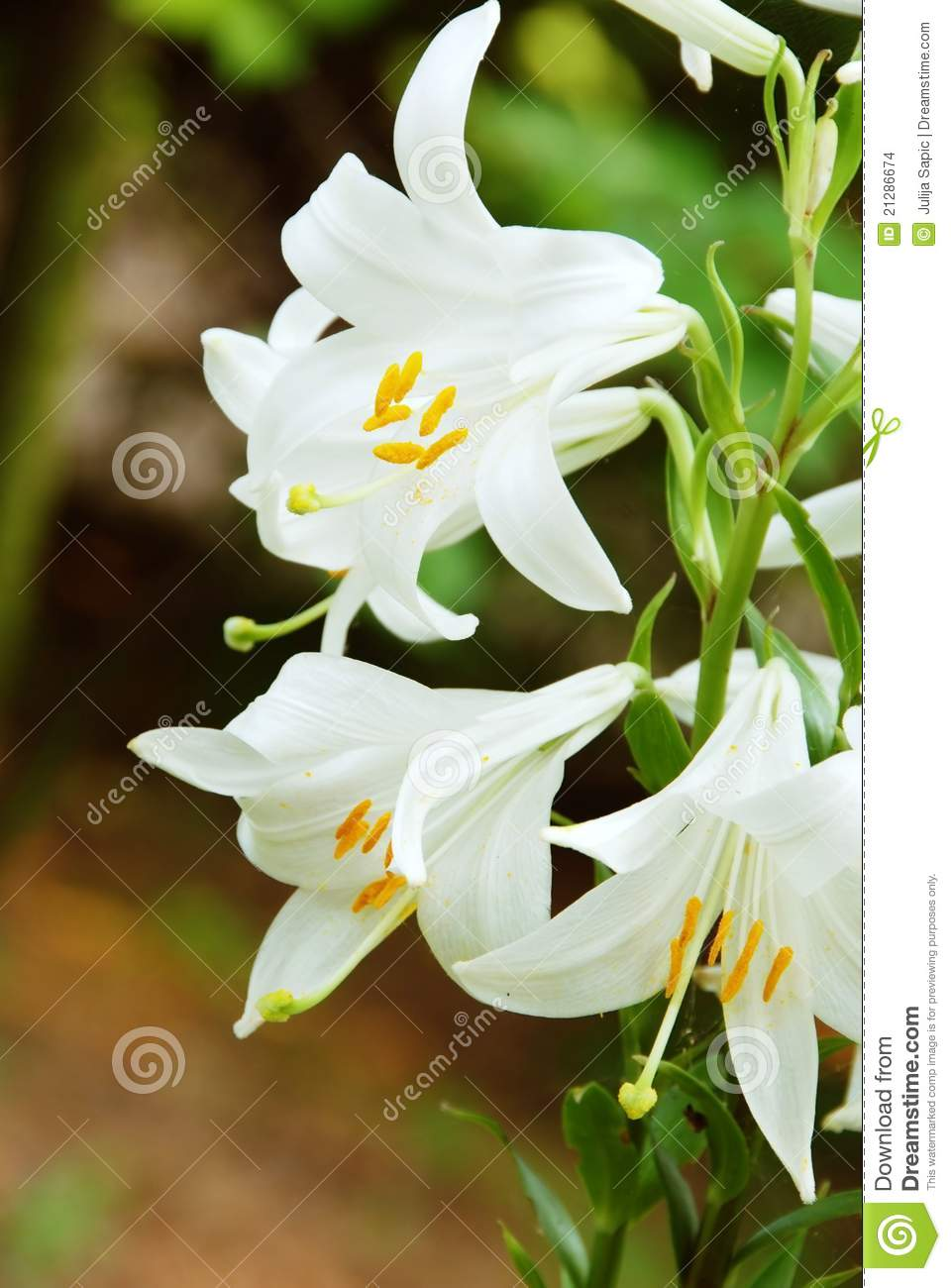 White Lily Flowers Stock Photo Image Of Nature Leaves 21286674