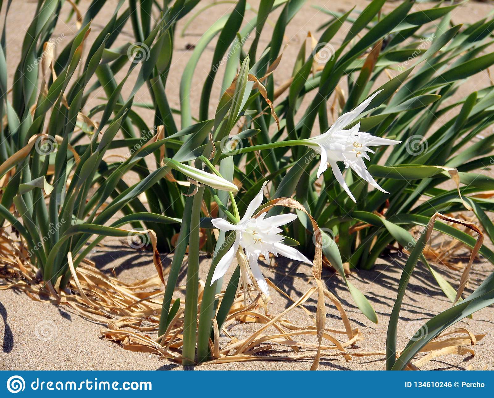 Flowers of sand lily