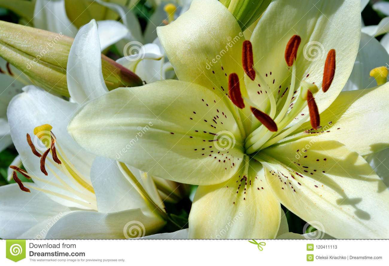White Lily Flowers In The Garden Close Up Stock Image Image Of