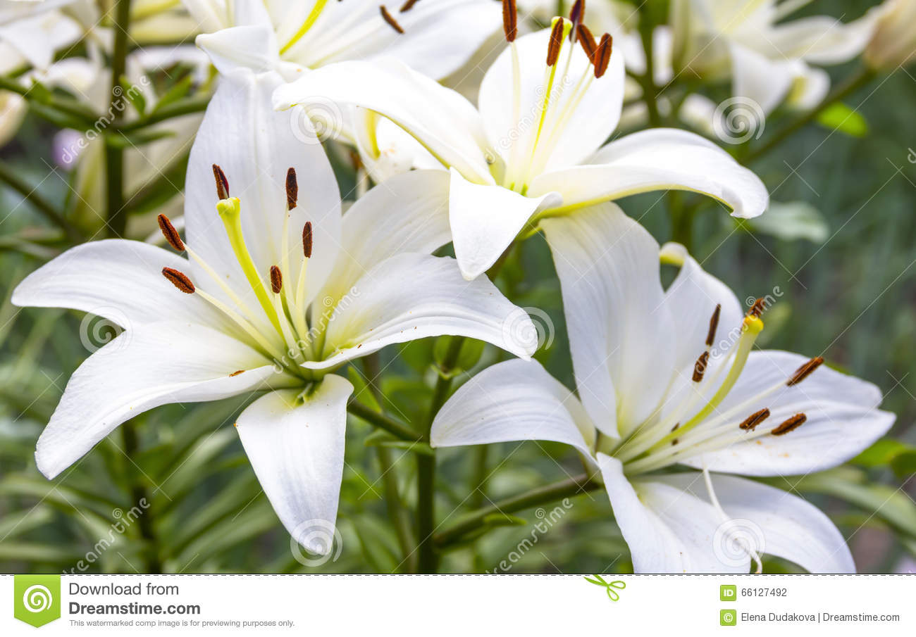 White lily flowers in a garden stock photo image of anniversary download white lily flowers in a garden stock photo image of anniversary bridal izmirmasajfo