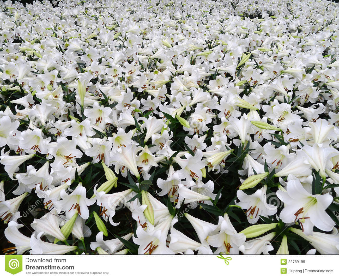 lillies of the field The lilies of the field dr w a criswell matthew 6:28 6-13-65 7:30 pm on the radio you are sharing the services of the first baptist church in dallas, and this is the pastor bringing the message from a text in matthew 6:28, consider the lilies of the field.