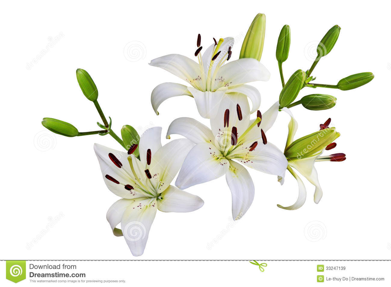 White Lily Stock Image Image Of Springtime Lily Plant 33247139