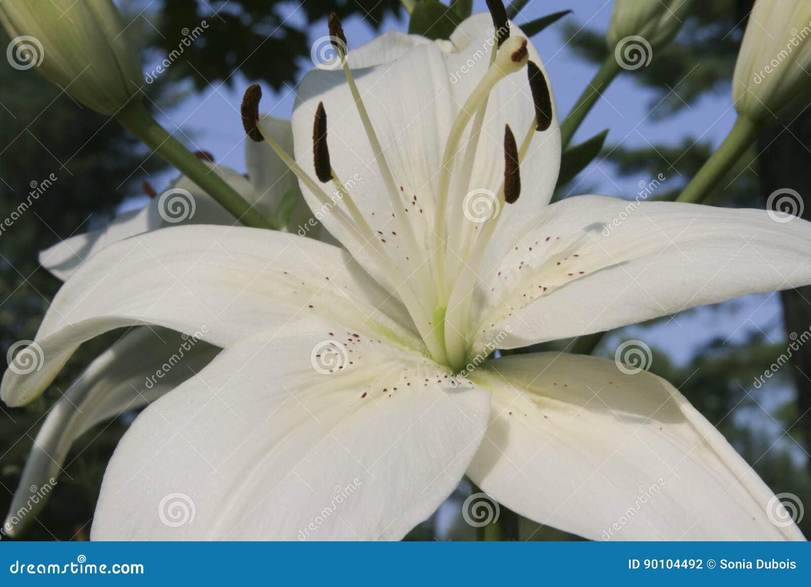 White Lily Stock Photo Image Of Plant Pistil Spring 90104492