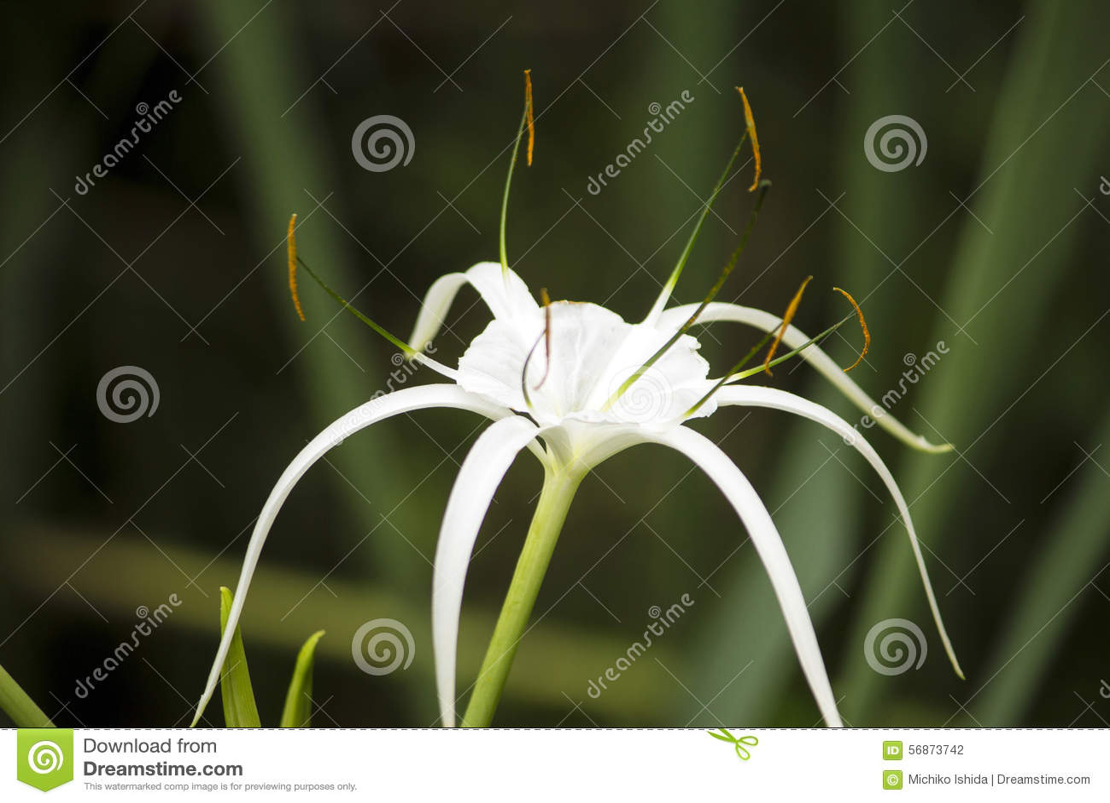 White lily like flower spider lily stock photo image of flower white lily like flower spider lily izmirmasajfo