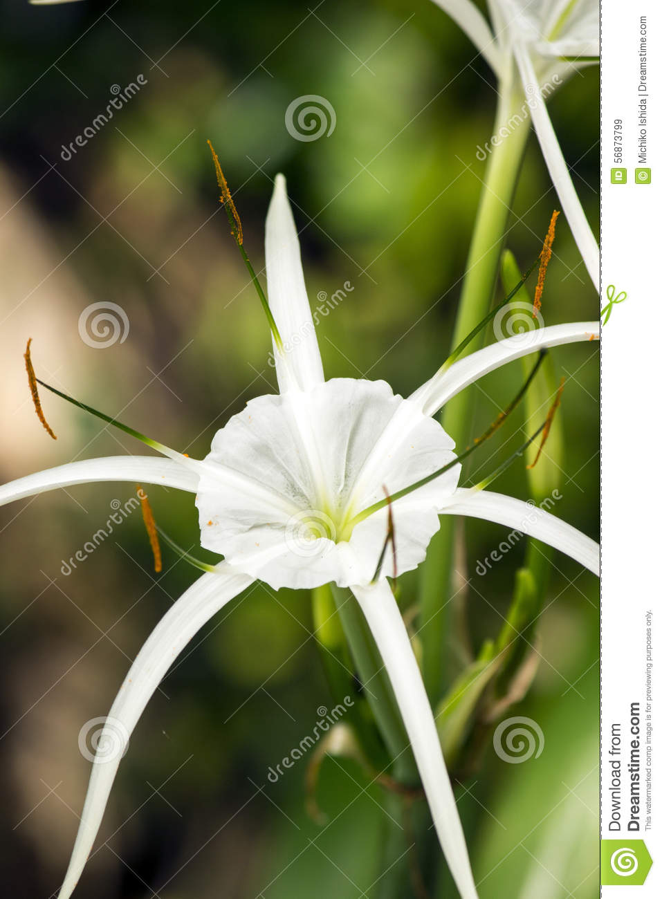 White lily like flower spider lily stock image image of green white lily like flower spider lily green skinny royalty free stock photo download white lily like flower izmirmasajfo Image collections
