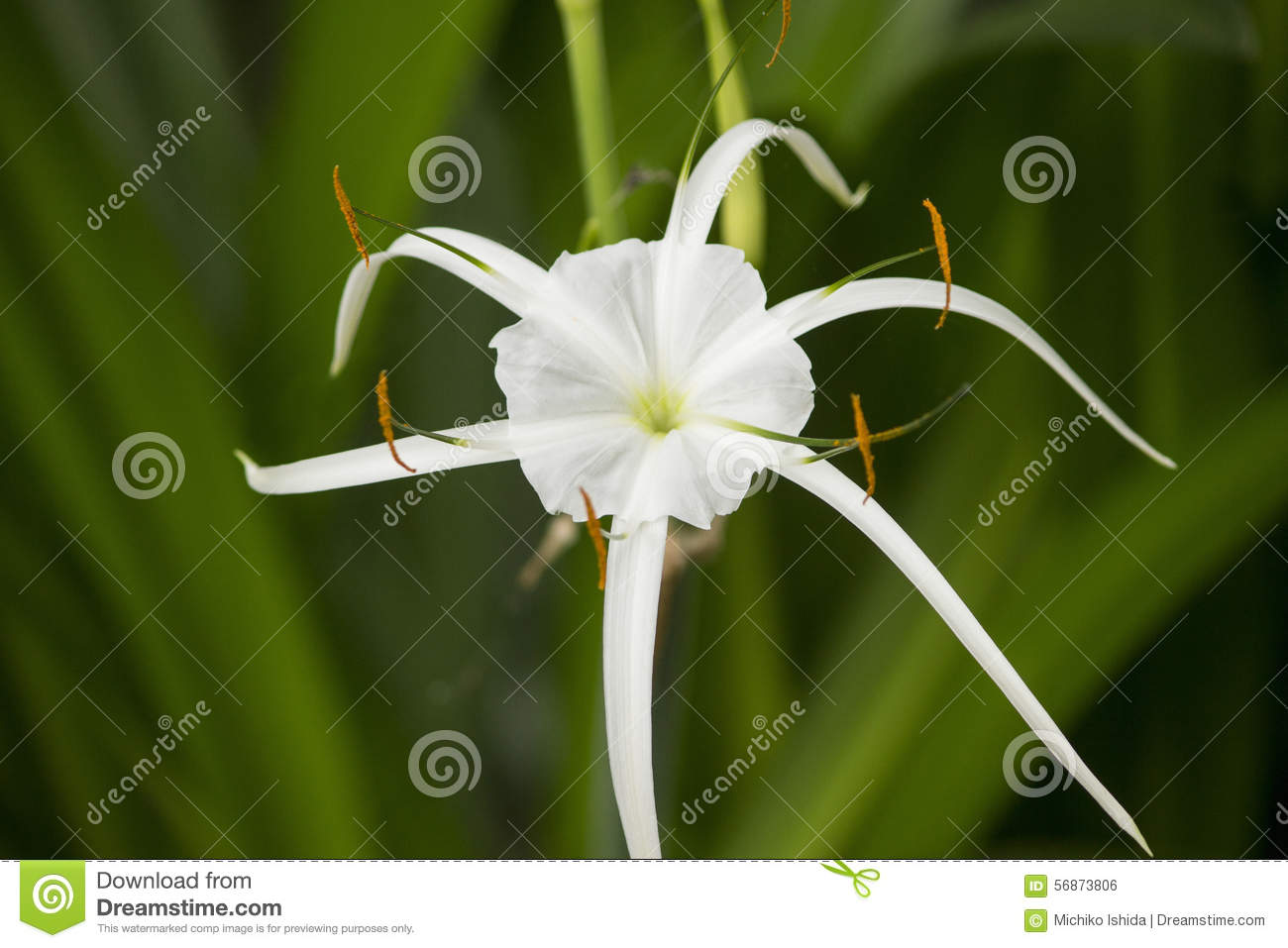 White lily like flower spider lily stock photo image of leaf white lily like flower has long skinny petals spider lily izmirmasajfo