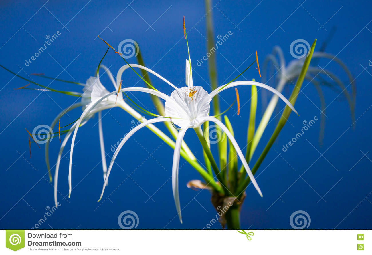 White lily with small spider on dark blue background stock photo white lily with small spider on dark blue background izmirmasajfo