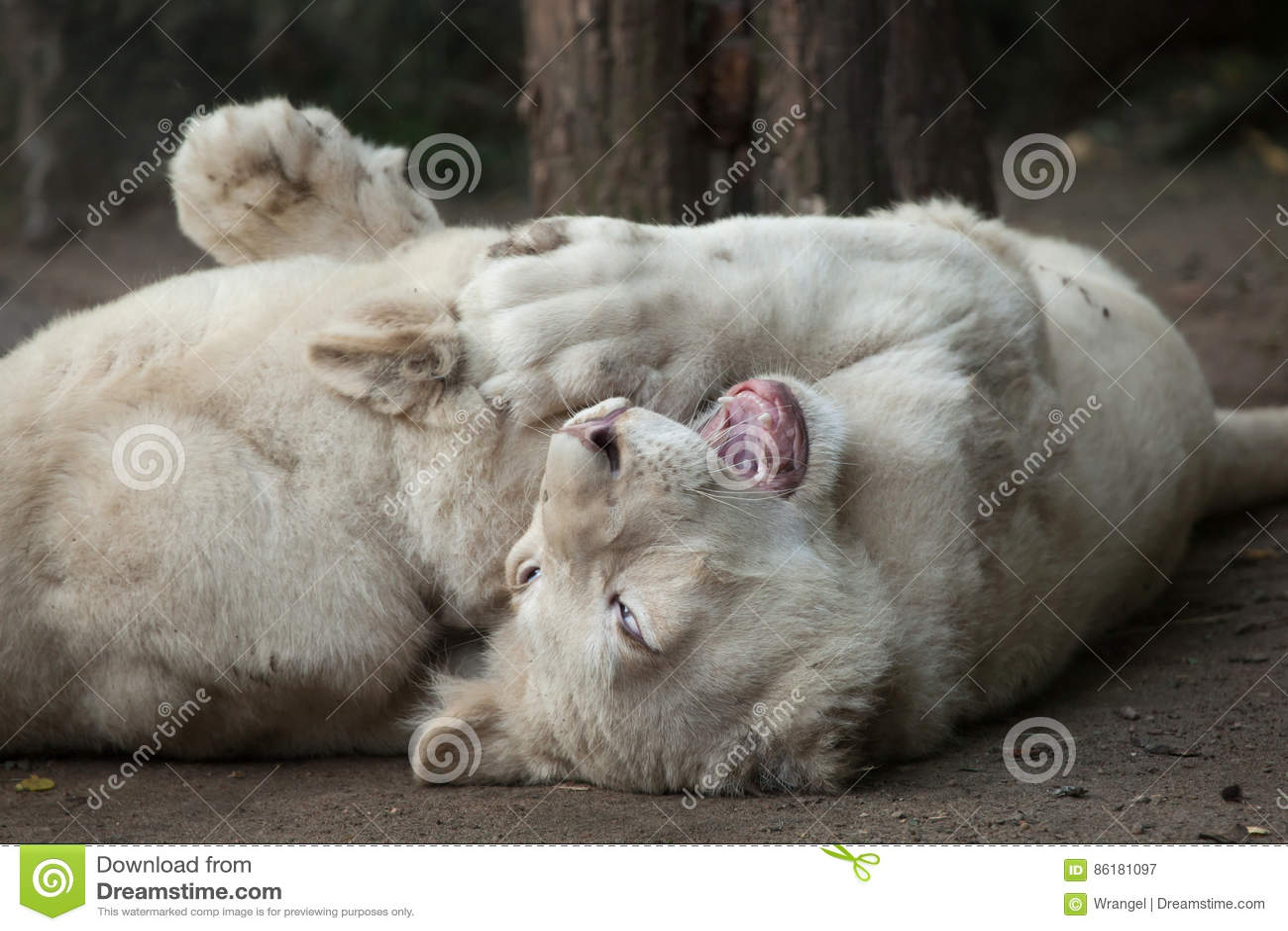 white transvaal lion
