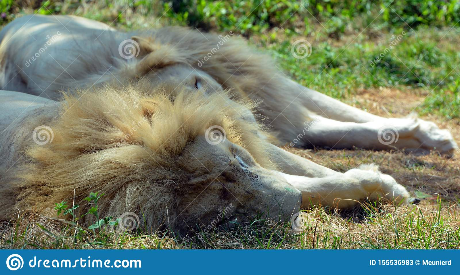 White Lion Is A Rare Color Mutation Stock Image - Image of ...