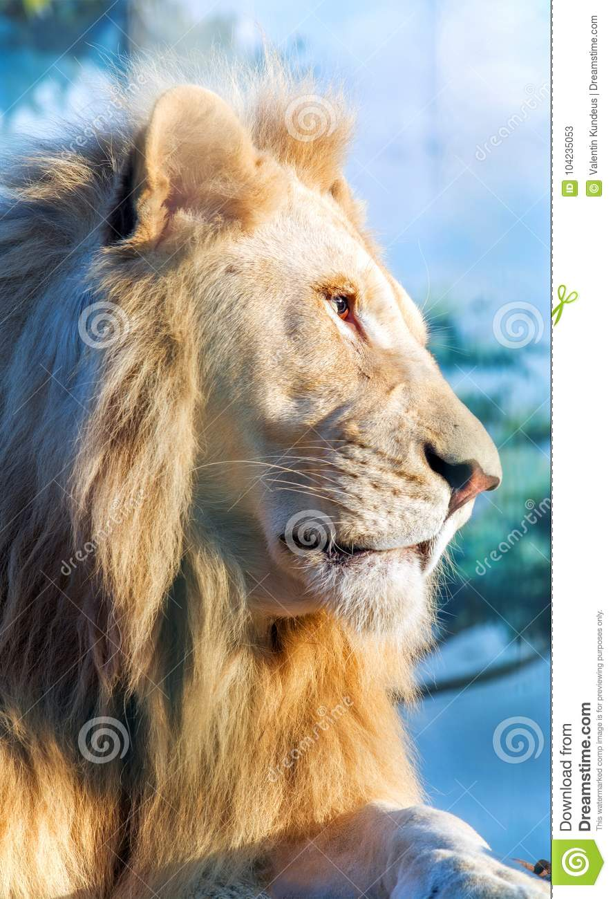 White lion. A thoughtful look into the distance. Animal Predator in the wild.