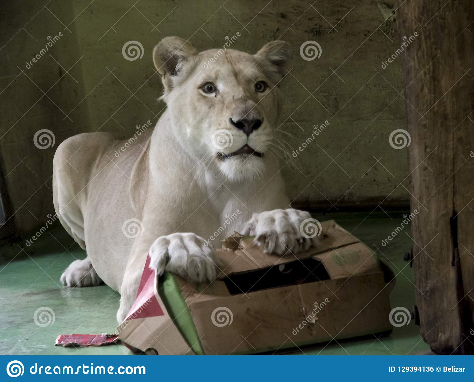 White lioness playing