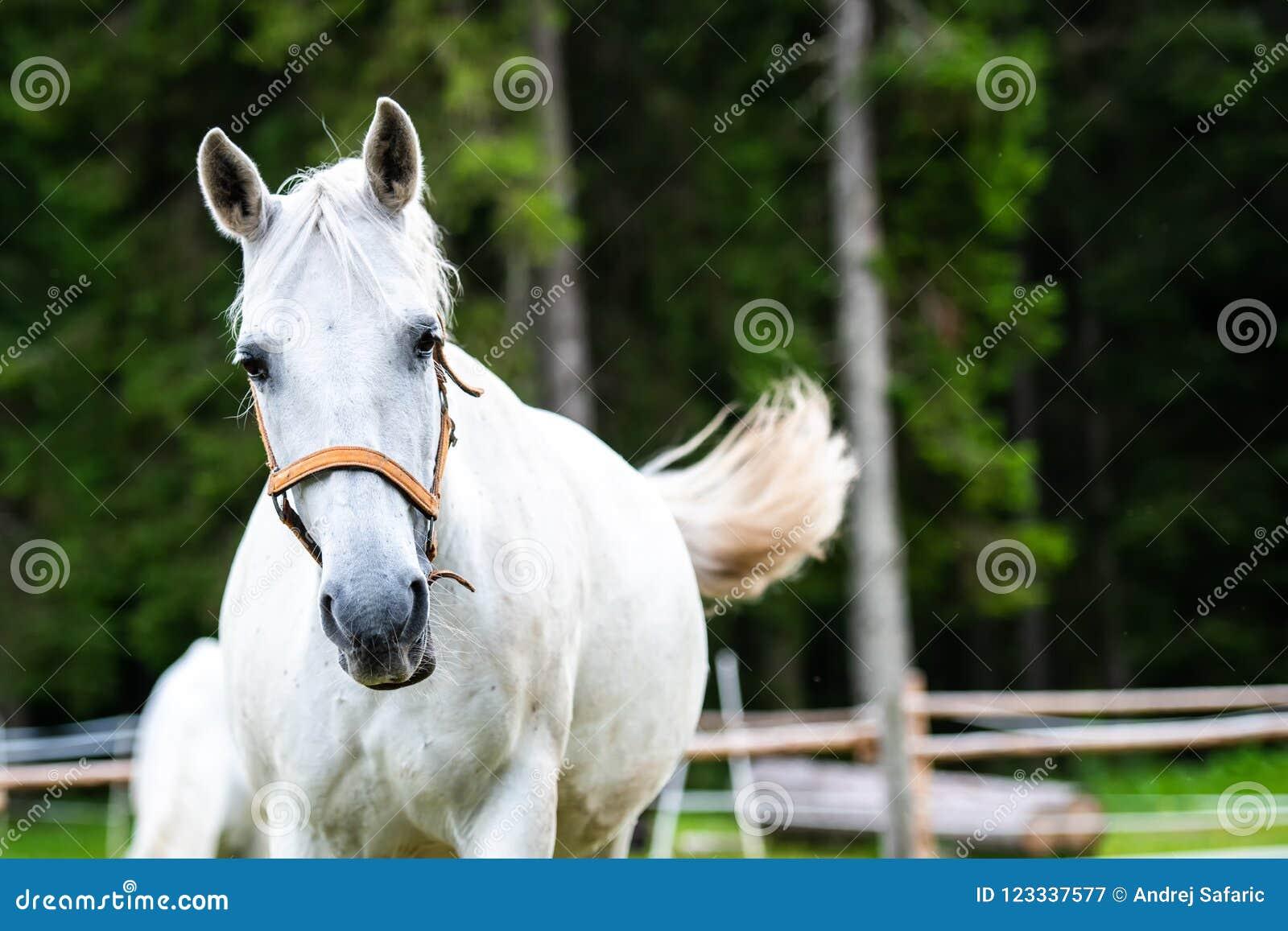 White Lipizzan Horse running in Stable