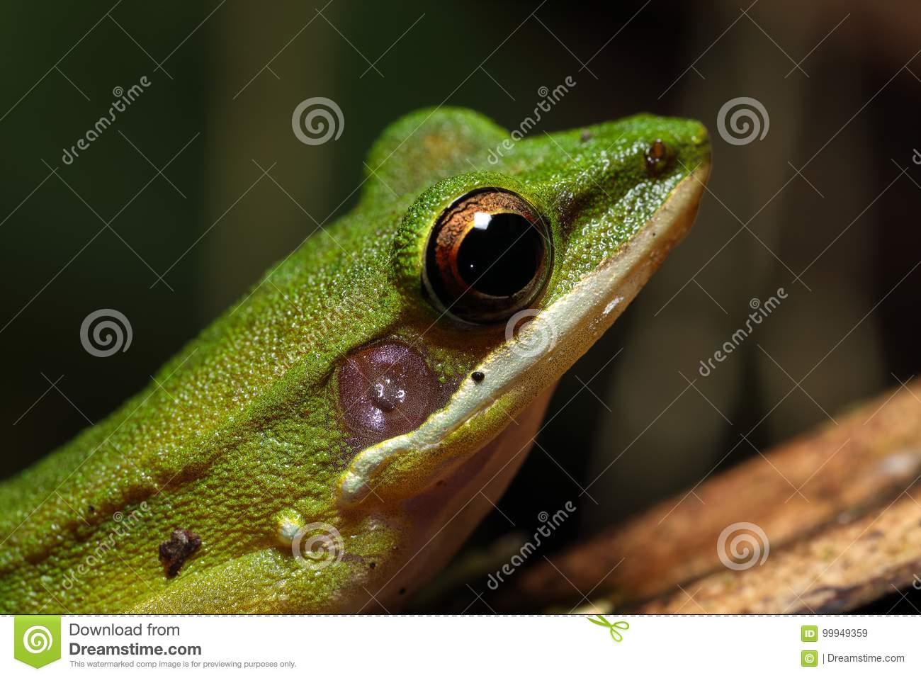 Beautiful White-lipped frog Chalcorana labialis isolated