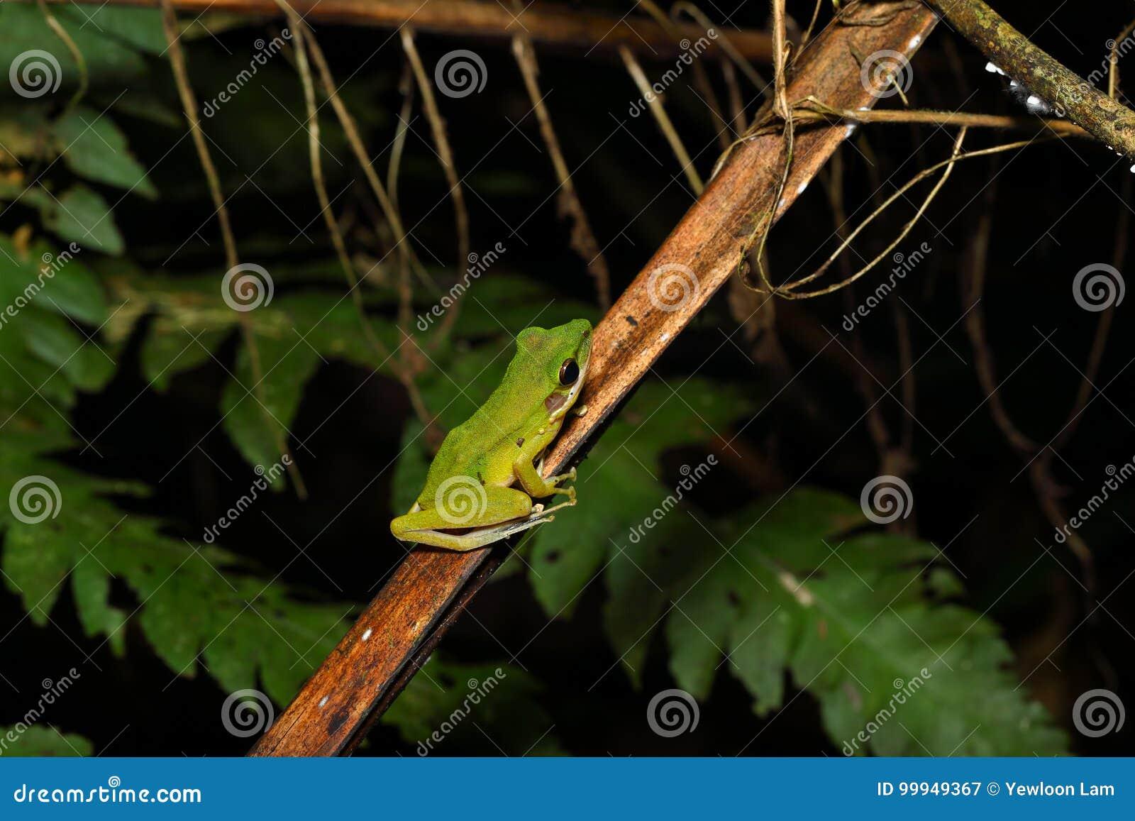 Beautiful White-lipped frog Chalcorana labialis isolated
