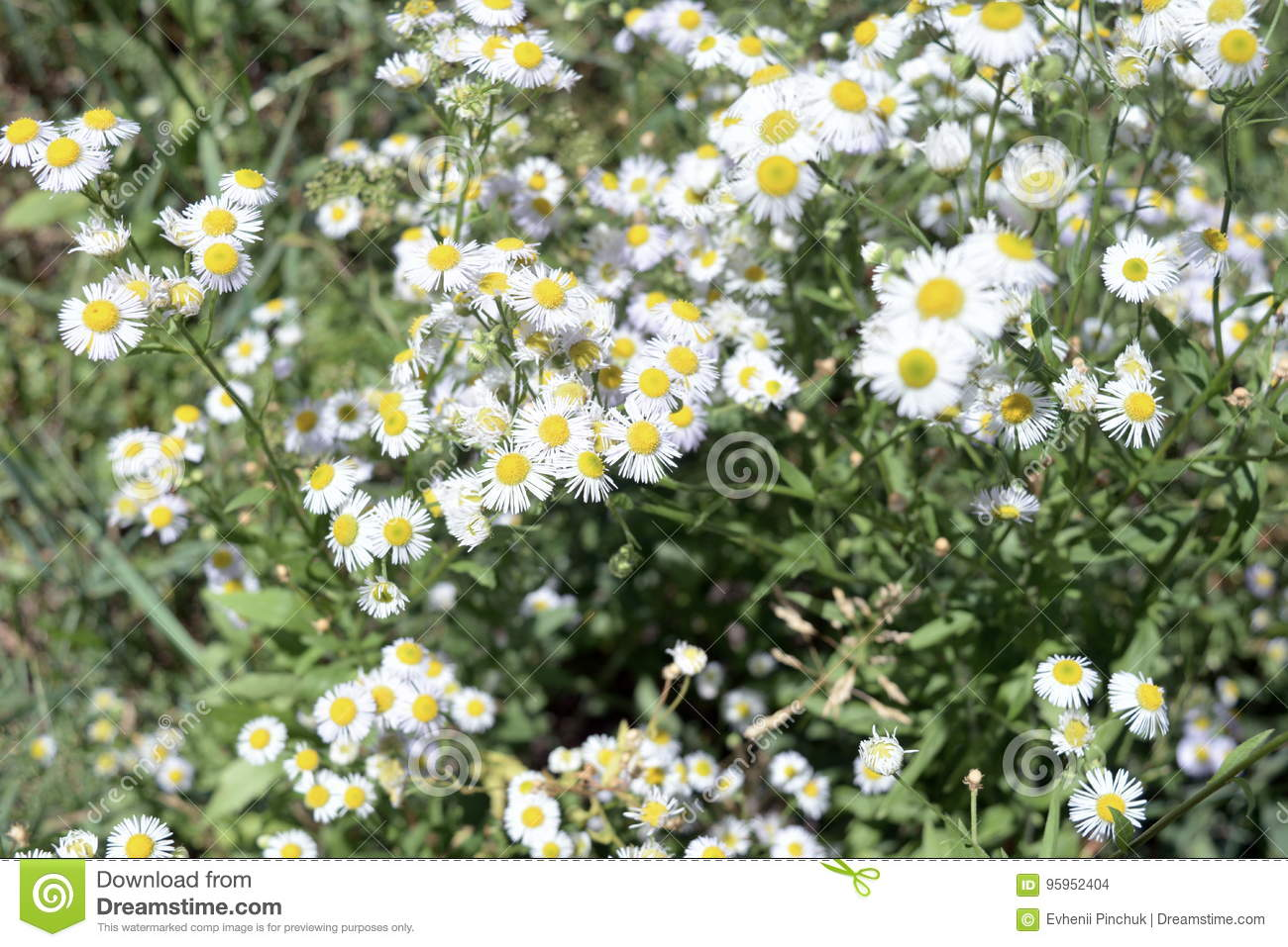 White little daisy flowers stock photo image of lots 95952404 download white little daisy flowers stock photo image of lots 95952404 izmirmasajfo