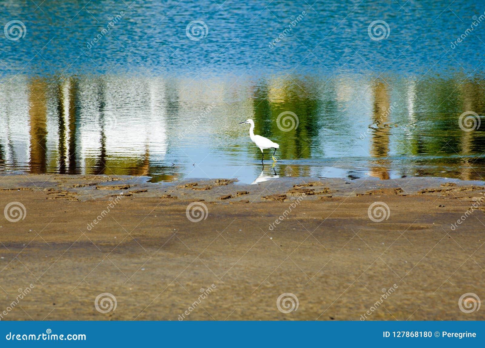 White Little egret