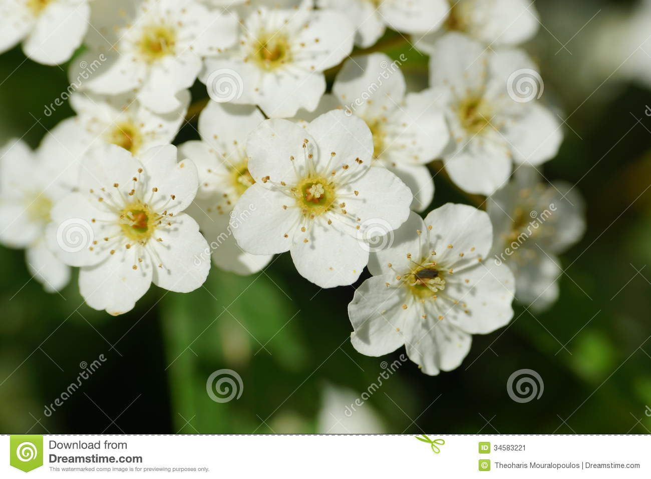 White Little Flowers Close Up Stock Image Image