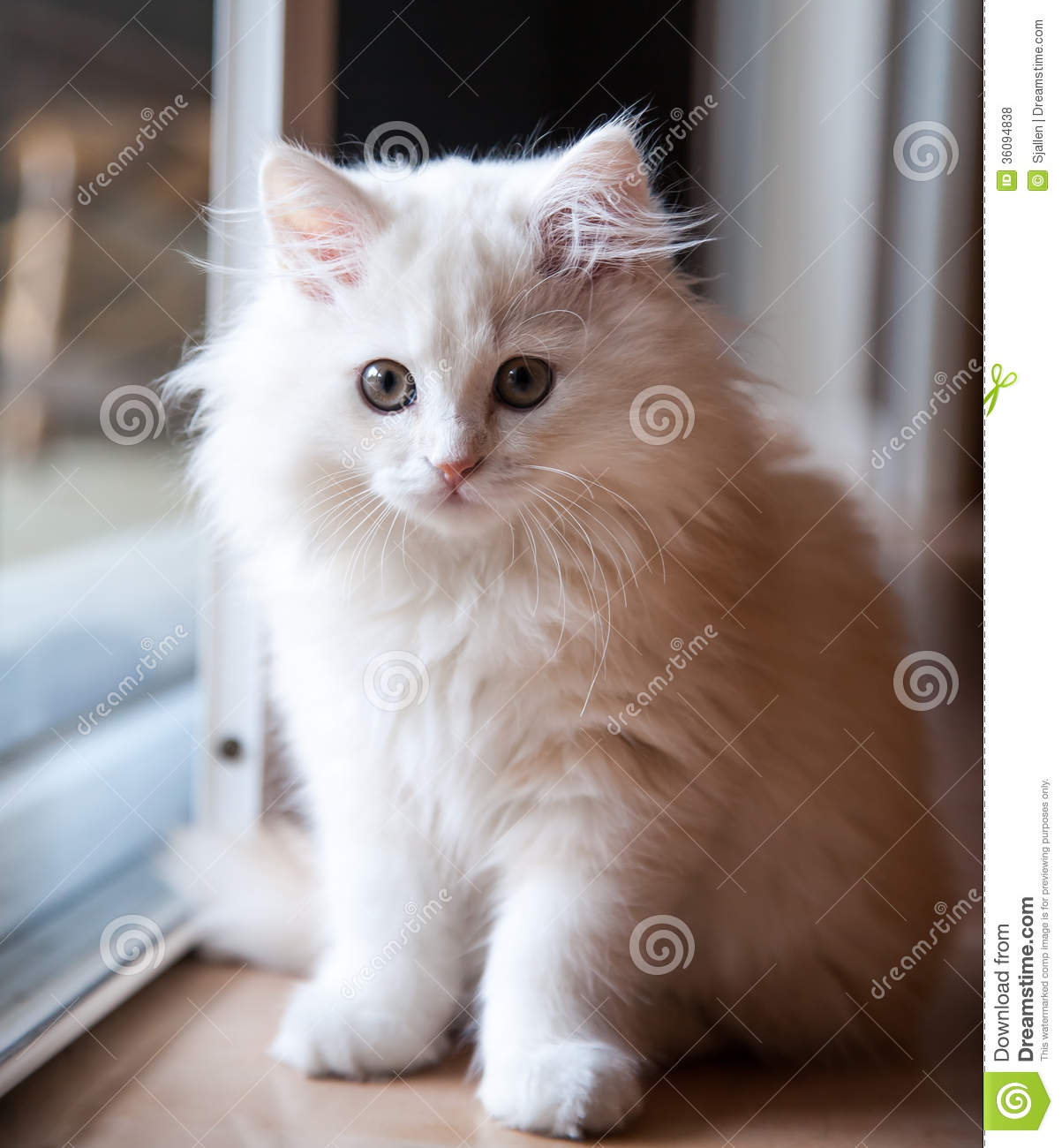 White Long Haired Kitten Waiting At The Door Royalty Free