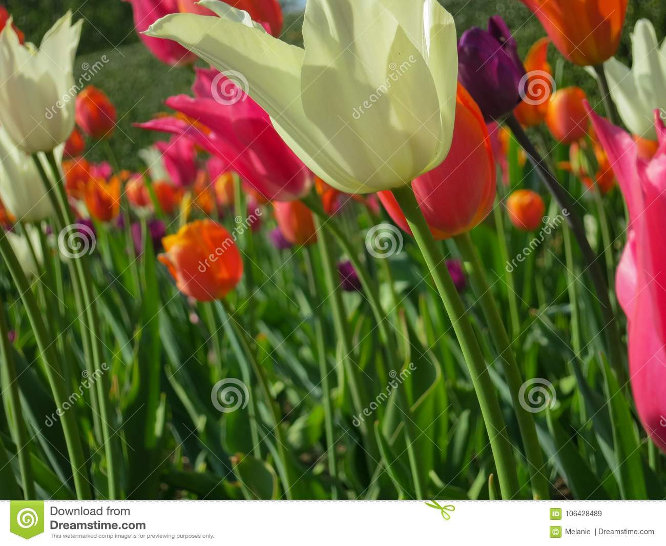 White Long Stem Tulip In Front Of Pink And Orange Tulips Stock Image