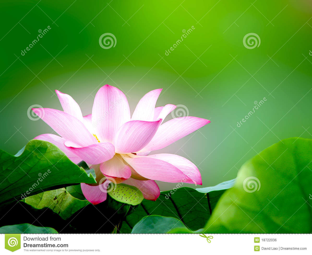 white lotus royalty free stock image  image, Beautiful flower