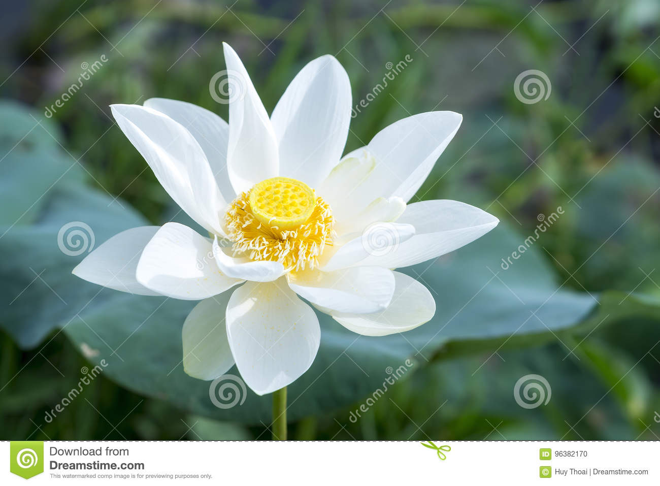 White Lotus Blossoming In The Pond Stock Photo Image Of Meditation