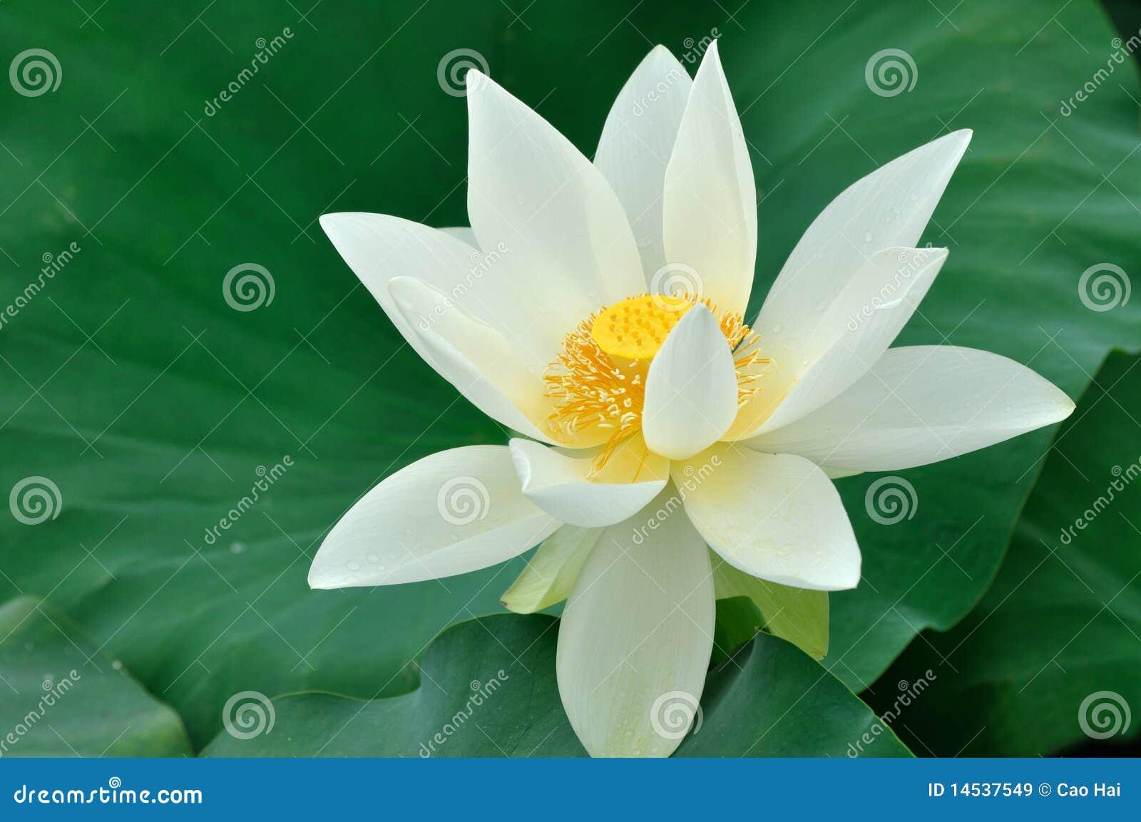 White Lotus Flower Stock Image Image Of Green Lotus 14537549