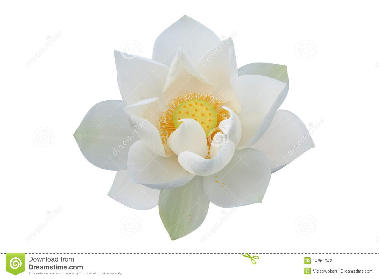 white lotus flower stock photography  image, Beautiful flower