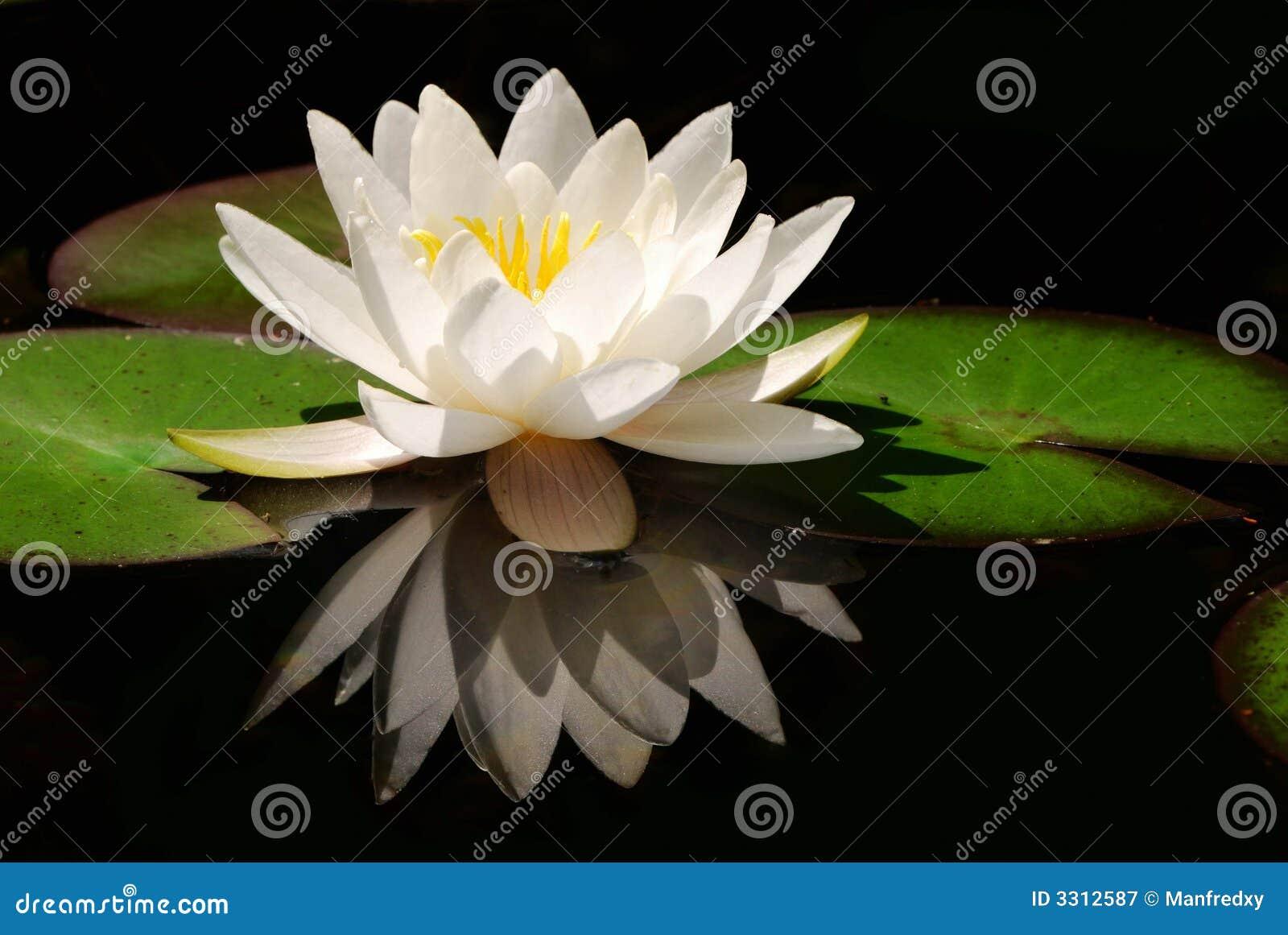 White lotus flower stock image image of floral blossom 3312587 white lotus flower izmirmasajfo