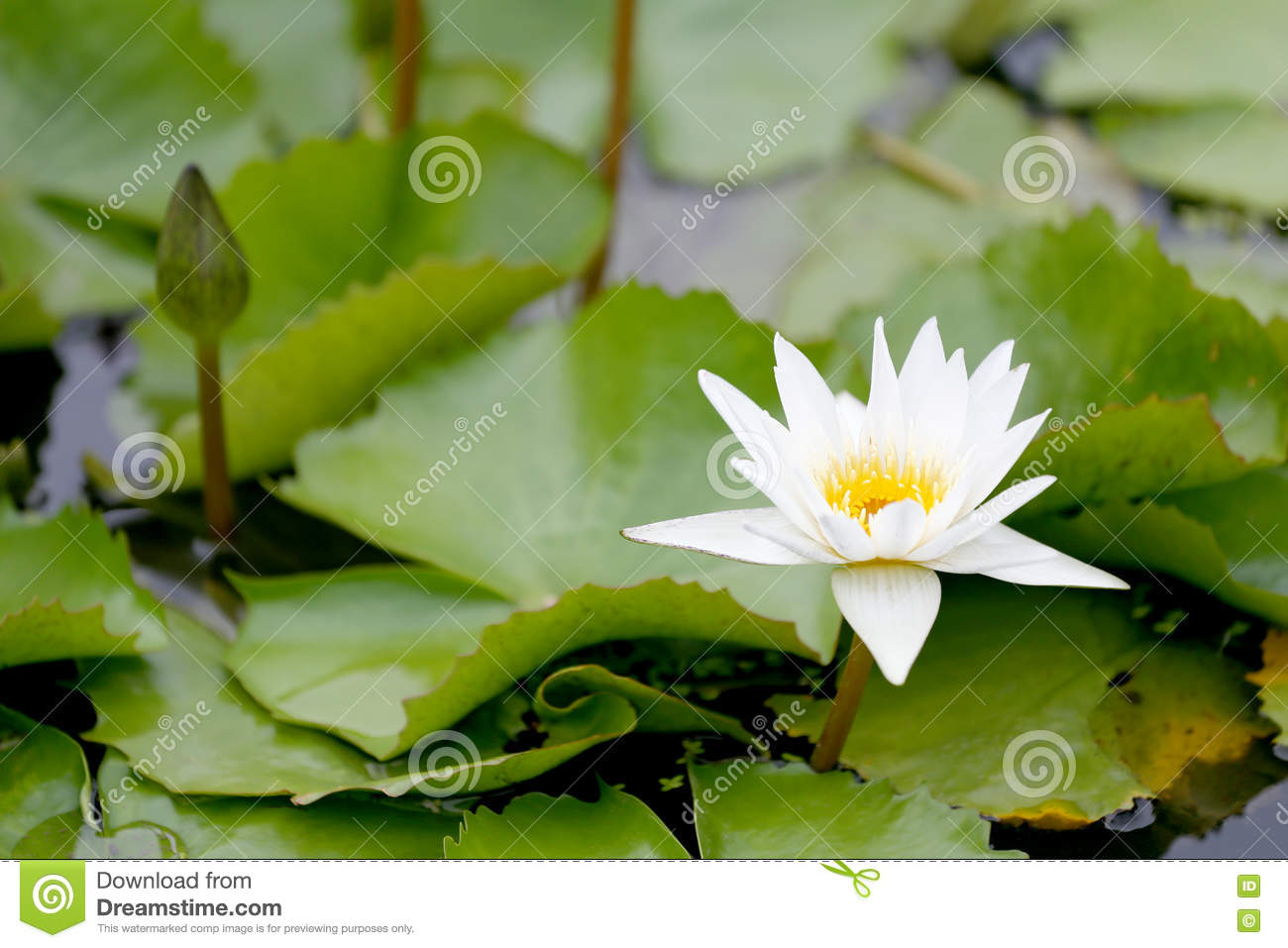 White Lotus Flower Bloom In Pondwater Lily In The Public Park