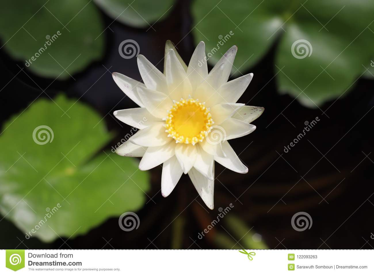 White Lotus Flower In Center Water Pot Stock Image Image Of
