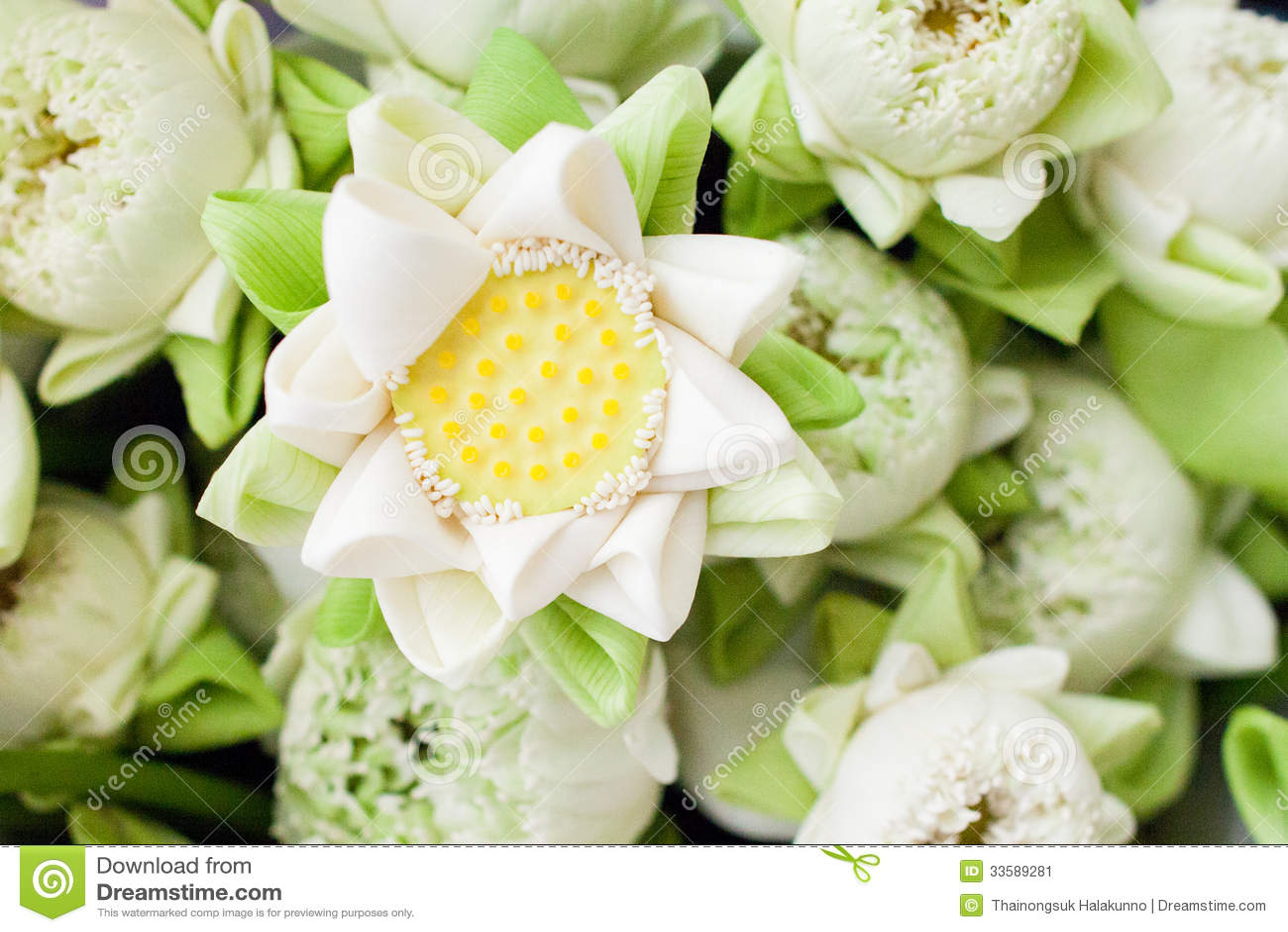 White Lotus Flower Folding Stock Image Image Of Aquatic Petal