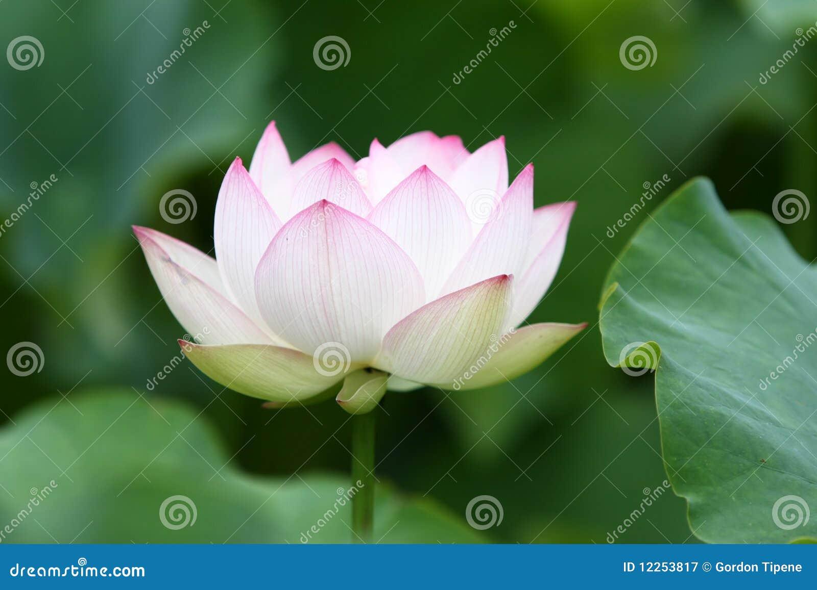 White lotus flower in full bloom stock image image of lily pink white lotus flower in full bloom izmirmasajfo
