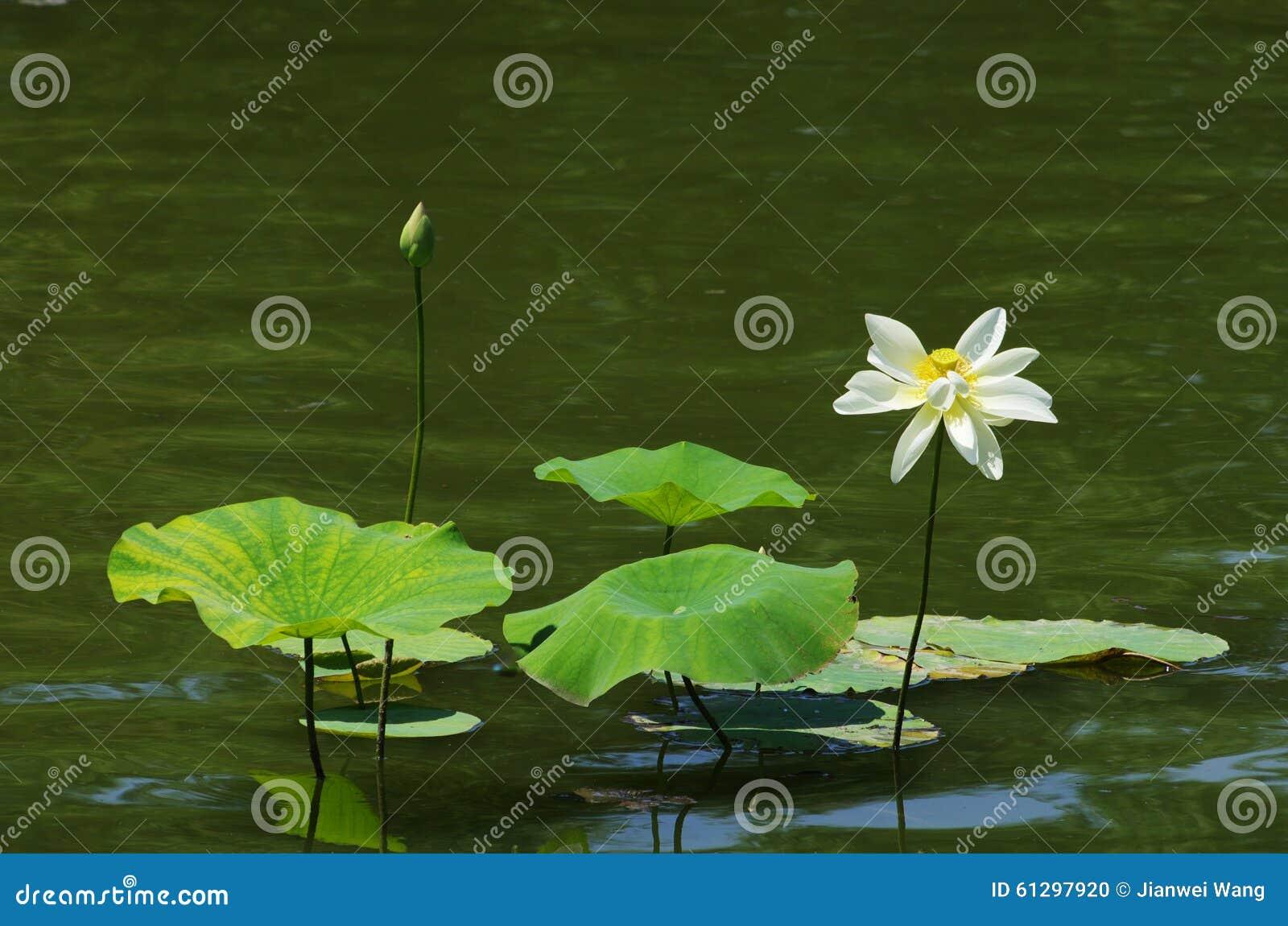 White Lotus Flower Stock Photo Cartoondealer Com 61297920
