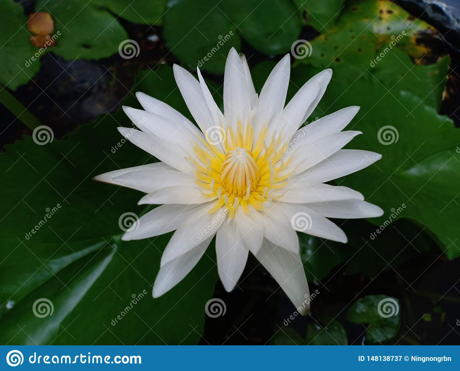 White Lotus Flower With Green Leaves Stock Image Image Of Flower