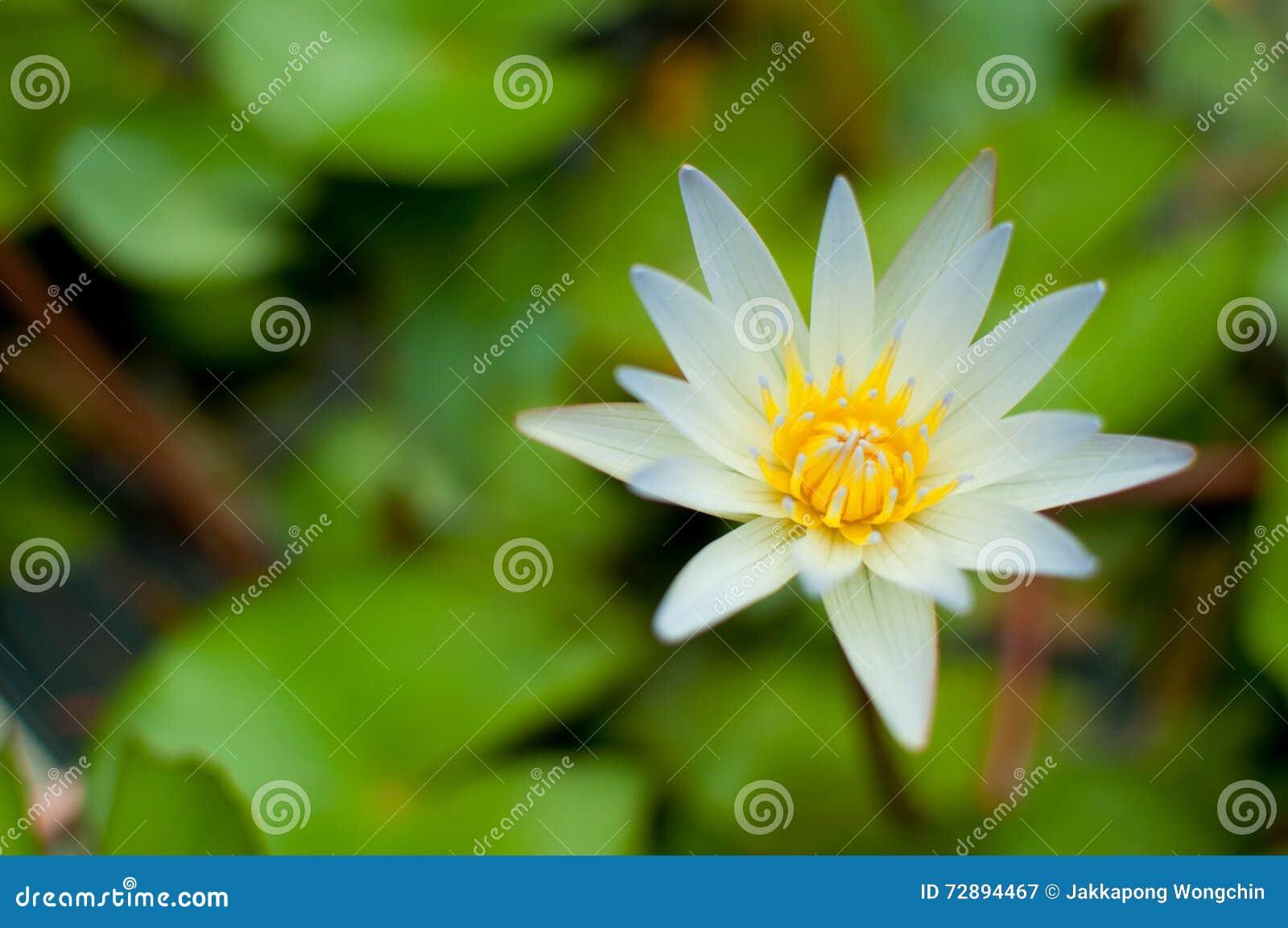 White Lotus Flower Stock Image Image Of Color Lotus 72894467