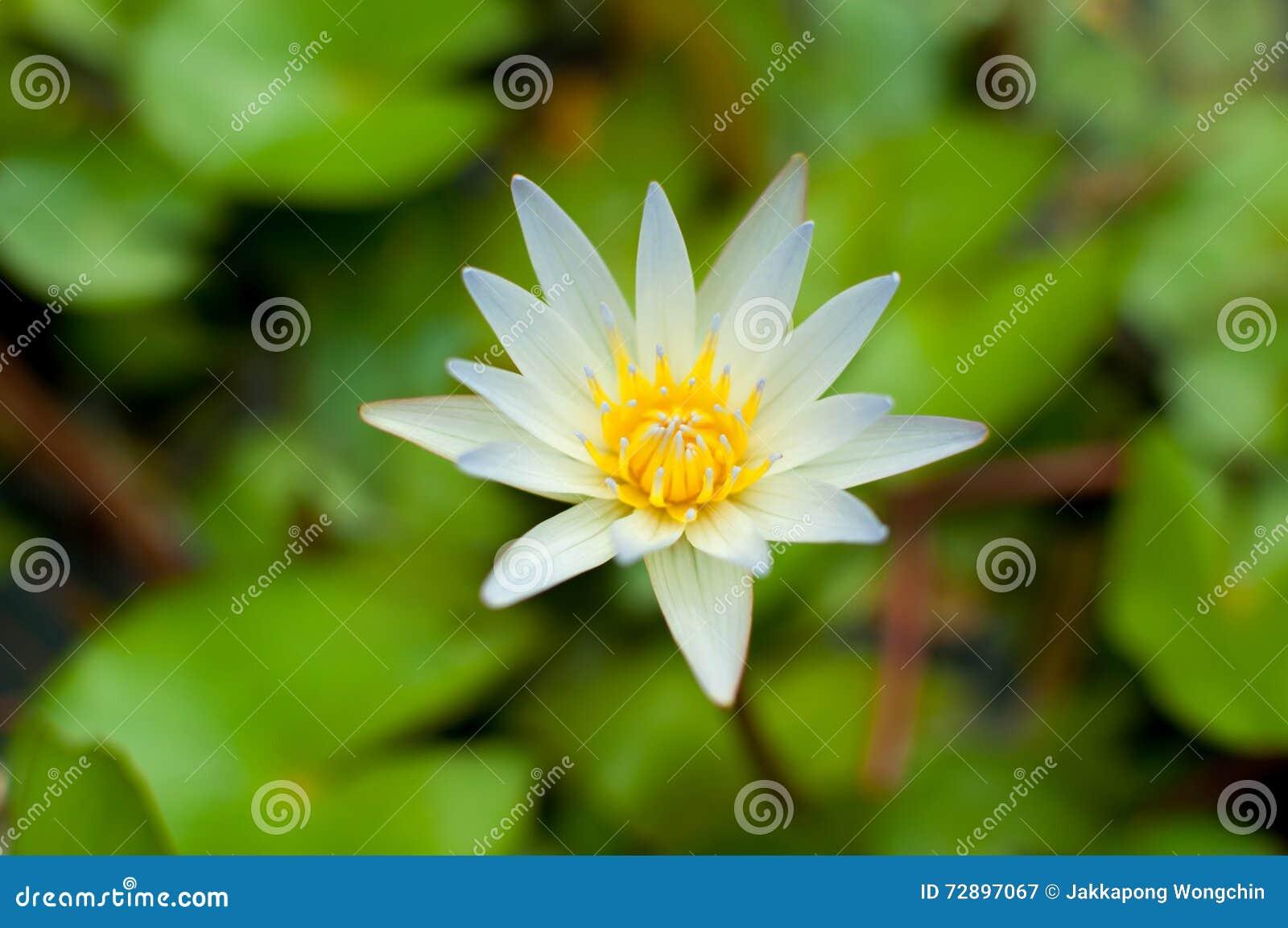 White Lotus Flower Stock Image Image Of Nature Fairytale 72897067