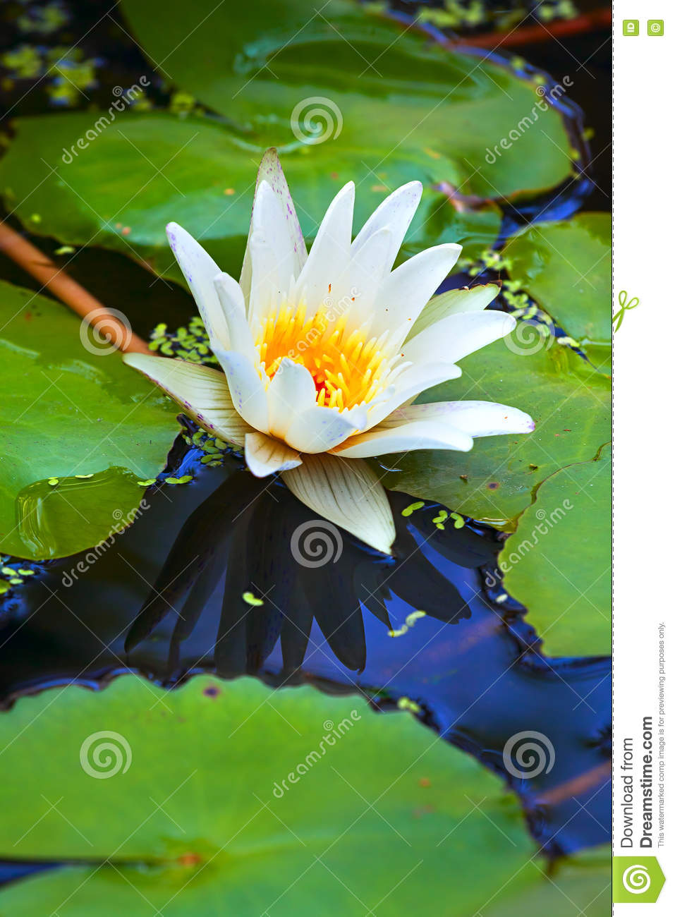 White Lotus Flower From The Lake Stock Photo Image Of Beauty