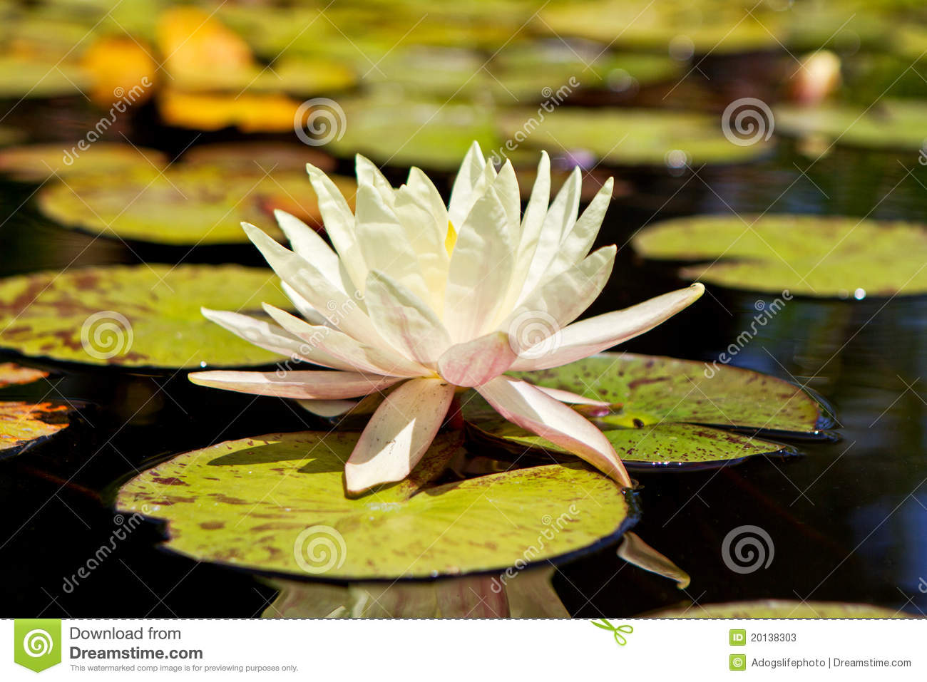 White Lotus Flower In Lily Pond Stock Image Image Of Plant