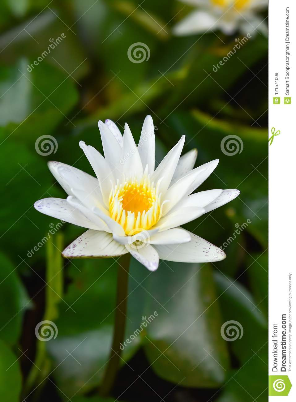 White lotus flower in the lotus pond at the samut songkhram stock white lotus flower in the lotus pond at the samut songkhram izmirmasajfo