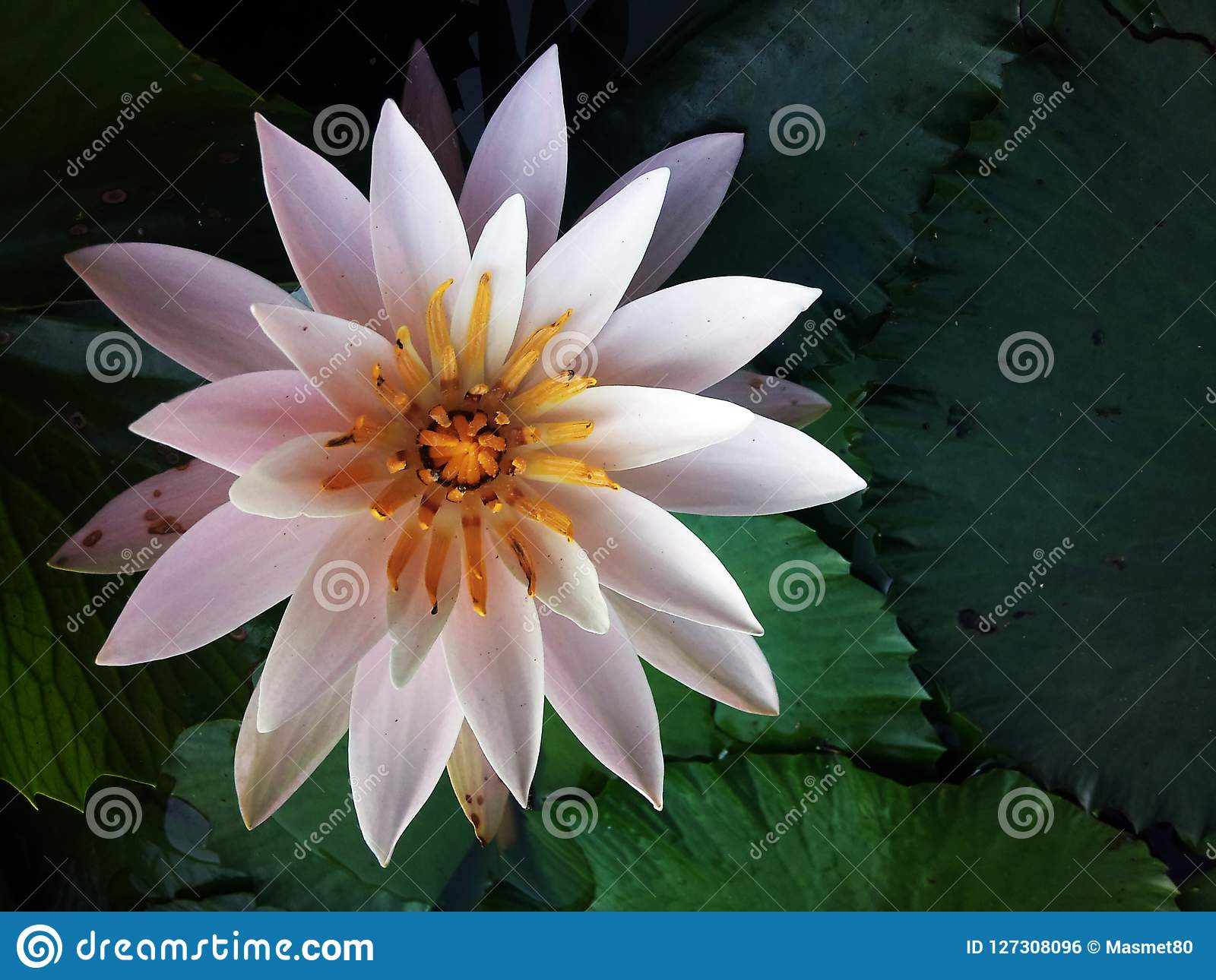 The White Lotus Stock Photo Image Of Collection City 127308096