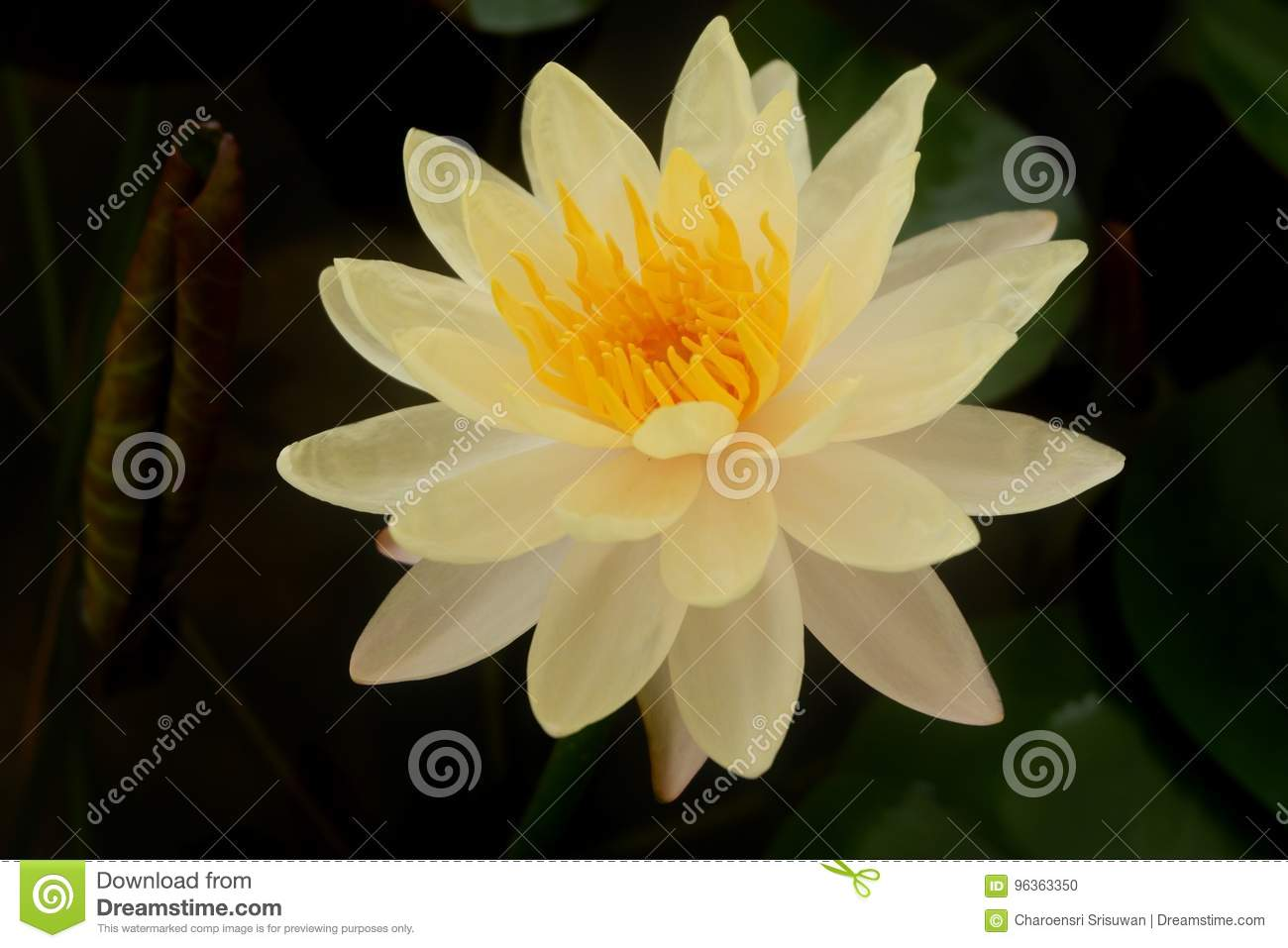 The white lotus flower and pink lotus flower stock photo image of the white lotus flower and pink lotus flower stock photo image of color leaf 96363350 izmirmasajfo