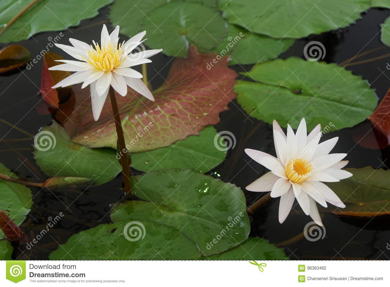 The White Lotus Flower And Pink Lotus Flower Are Meaning Purity And