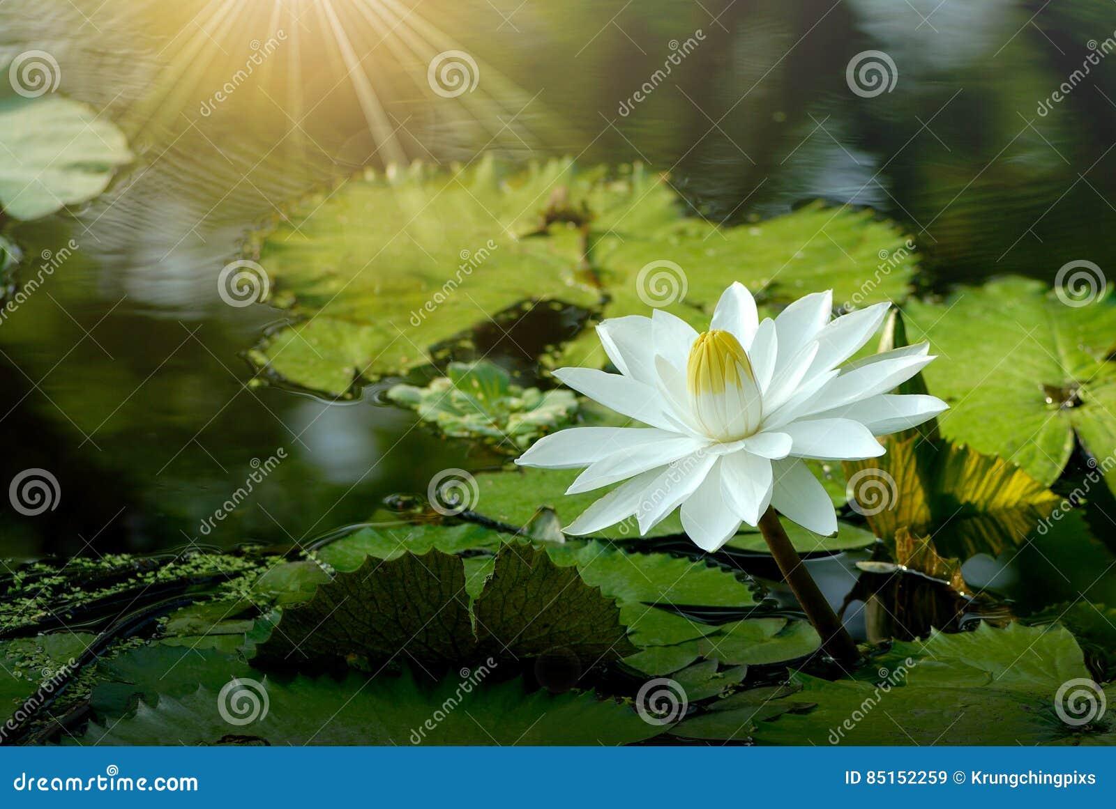 White lotus flower in the pond stock image image of closeup lotus white lotus flower in the pond izmirmasajfo