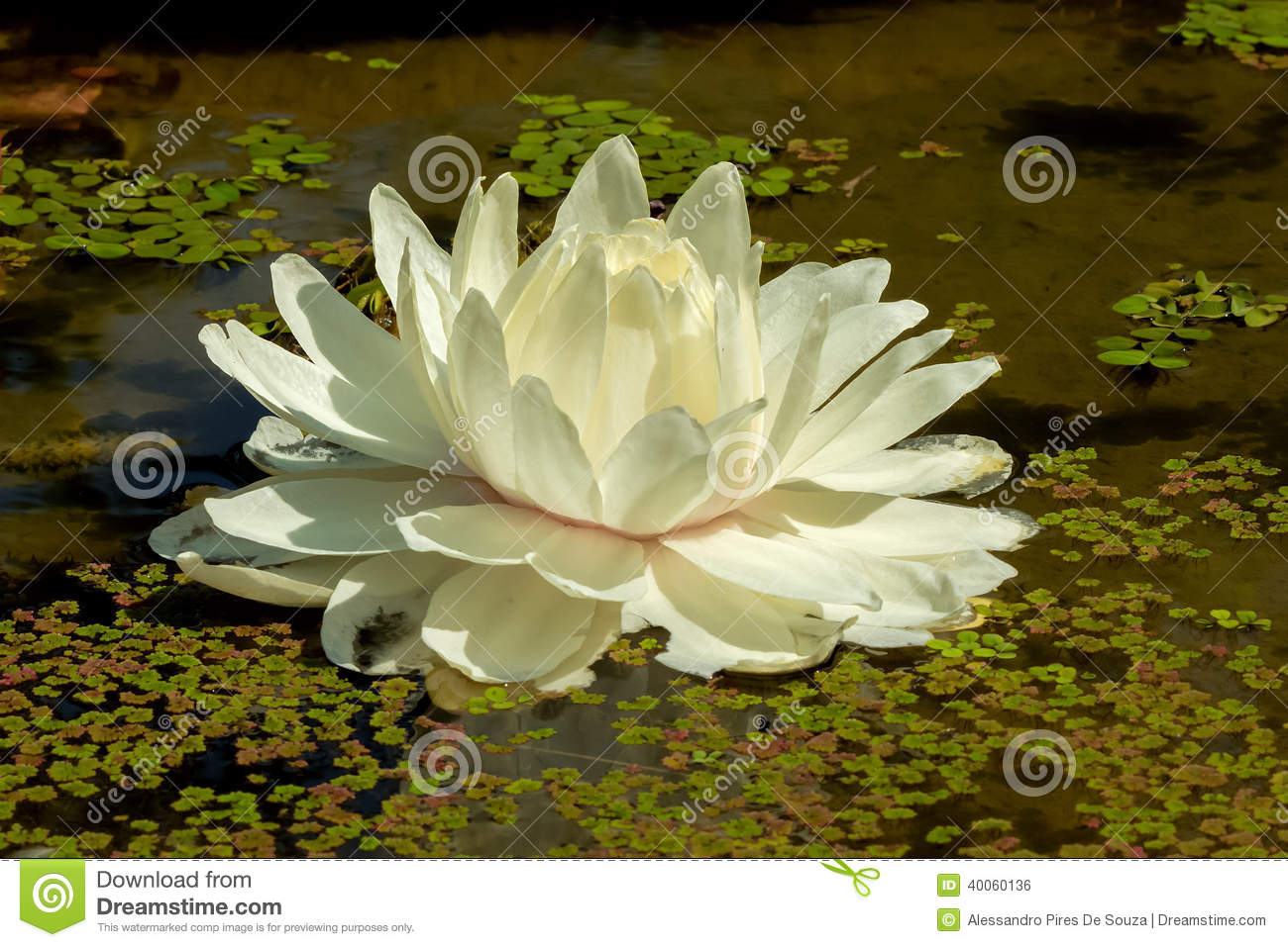White lotus flower in a pond stock photo image of botanical pond white lotus flower in a pond izmirmasajfo