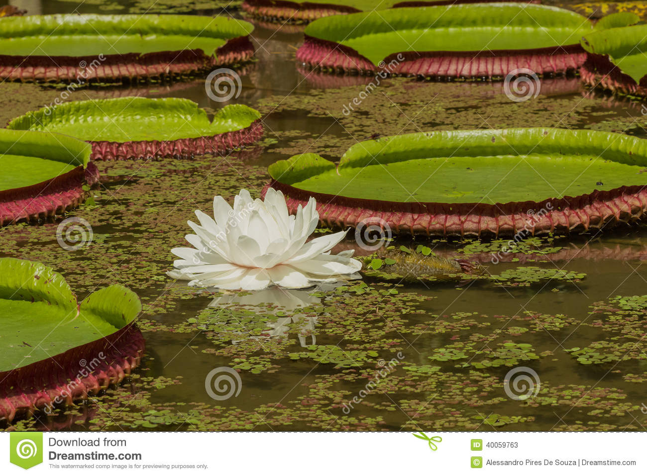 White Lotus Flower In A Pond Stock Image - Image of floral, pattern ...