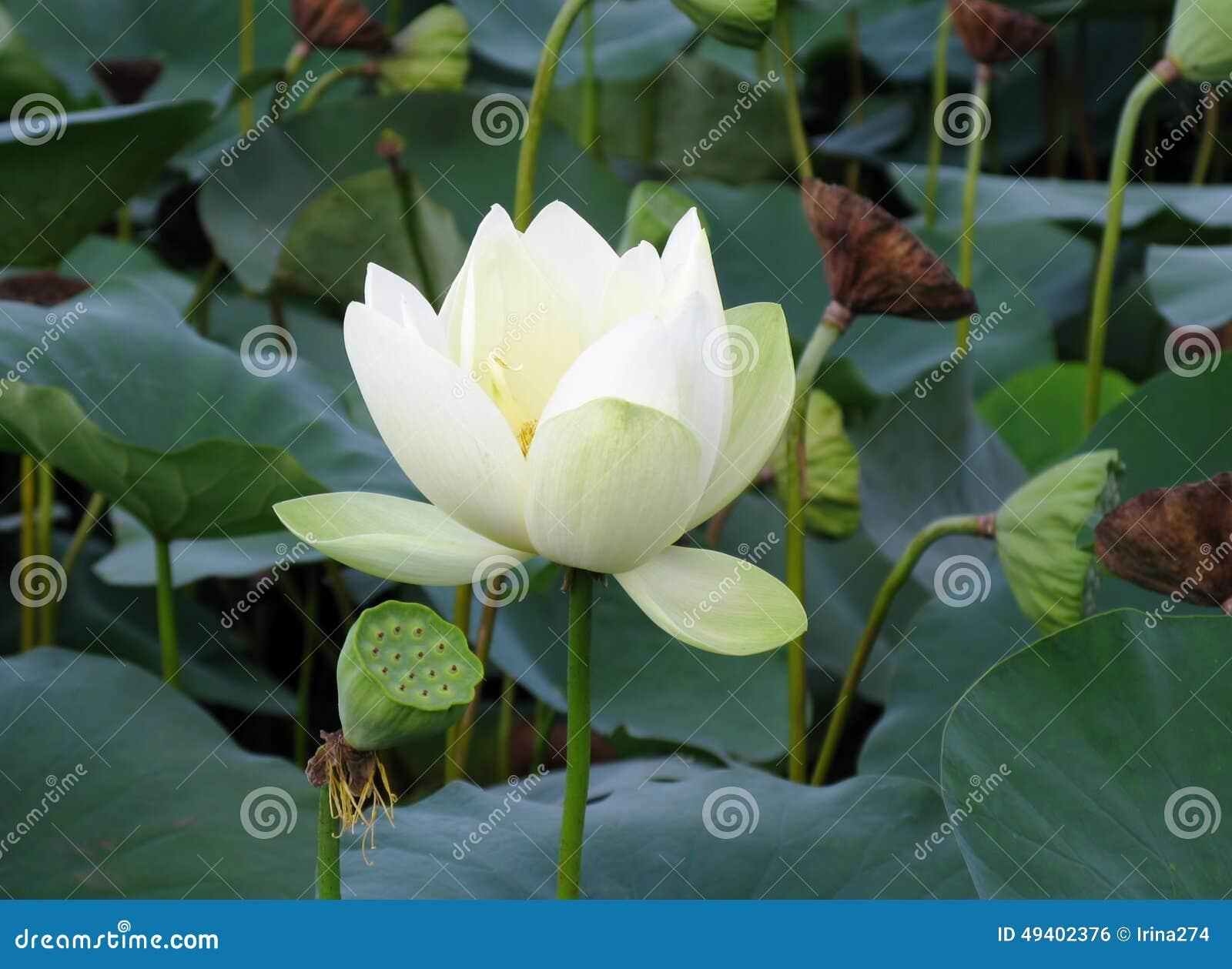White Lotus Flower And Seedpods Stock Photo Image Of Nelumbo
