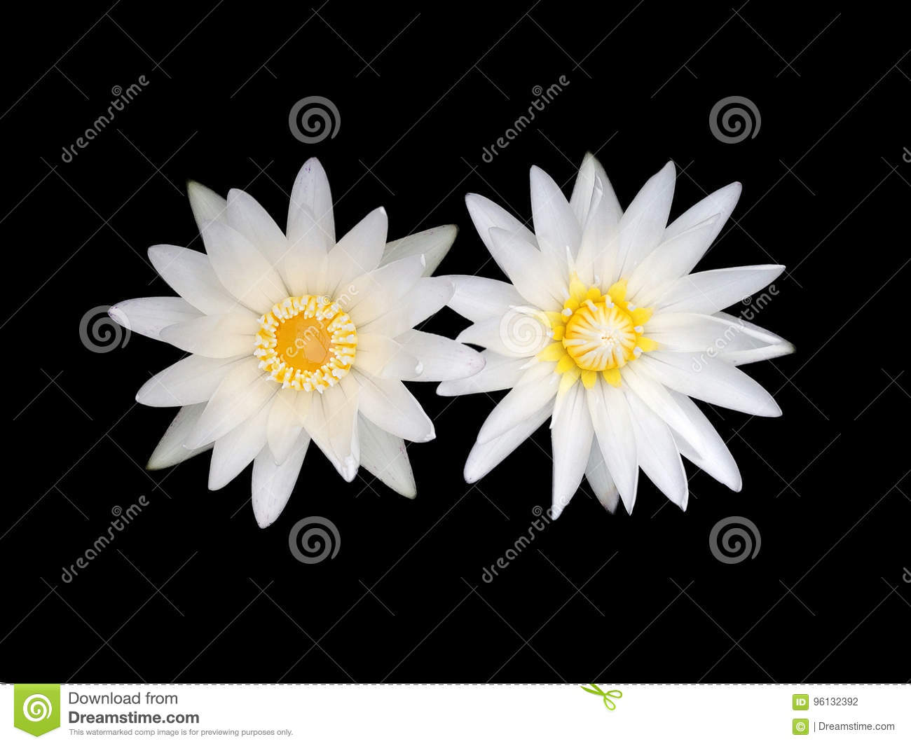White Lotus Flower Stock Photo Image Of Brightly Color 96132392