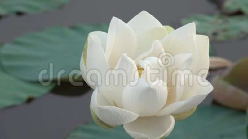 White Lotus Flower Video Clip Stock Footage Video Of Plants